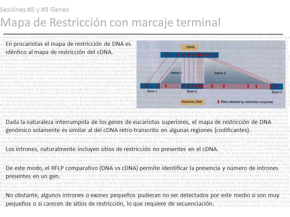 Sesiónes #8 y #9 Genes Mapa de Restricción con marcaje terminal En procariotas el mapa de restricción de DNA es idéntico al mapa de restricción del cD