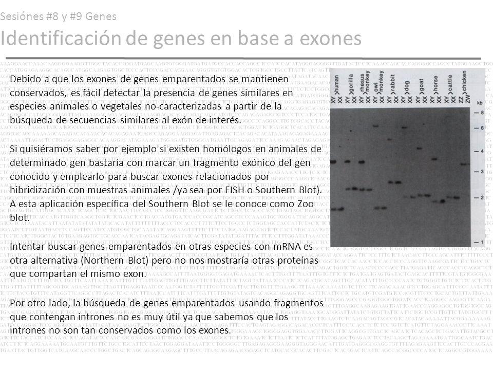 Sesiónes #8 y #9 Genes Identificación de genes en base a exones Debido a que los exones de genes emparentados se mantienen conservados, es fácil detec
