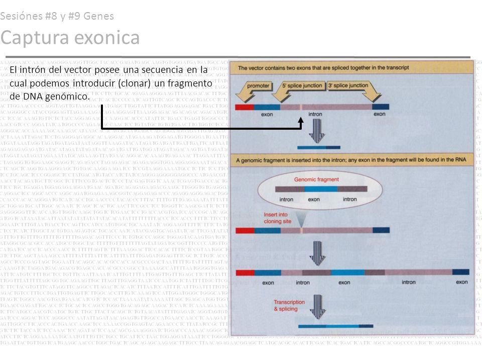 Sesiónes #8 y #9 Genes Captura exonica El intrón del vector posee una secuencia en la cual podemos introducir (clonar) un fragmento de DNA genómico.