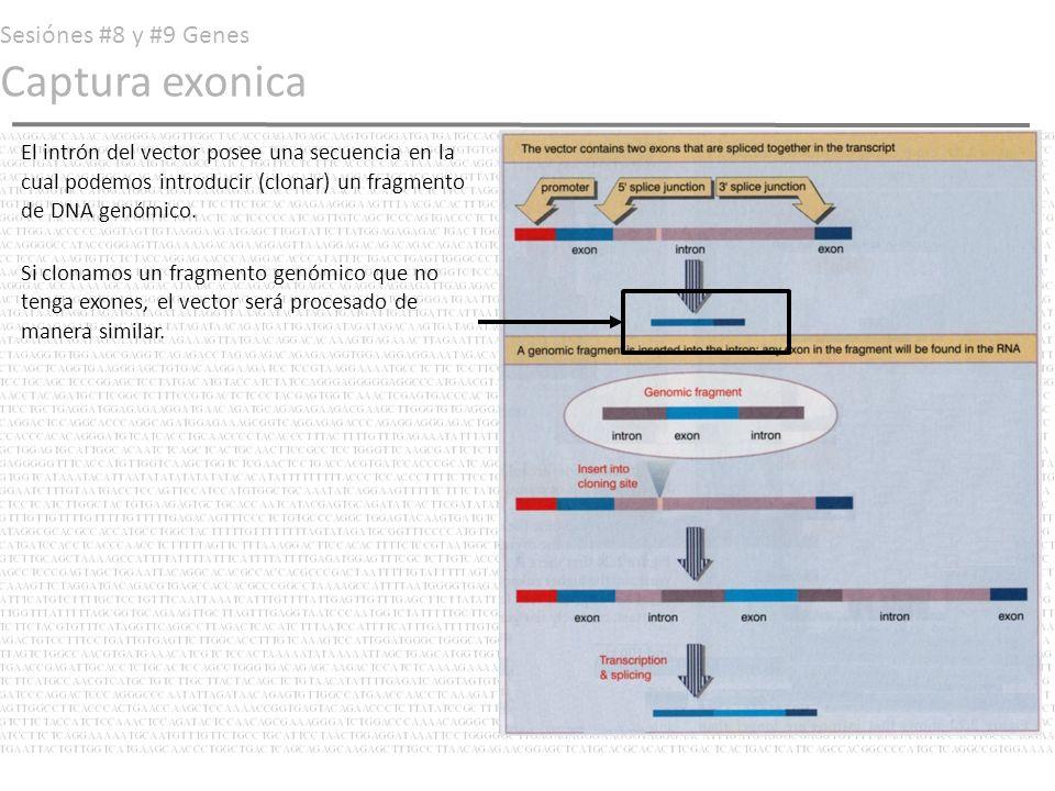 Sesiónes #8 y #9 Genes Captura exonica En cambio, si le clonáramos un fragmento génico con un exón, la maquinaria de procesamiento espliceosomal reconocería las nuevas fronteras exon-intrón presentes e introduciría (capturaría) al exón presente en el transcrito de RNA procesado.