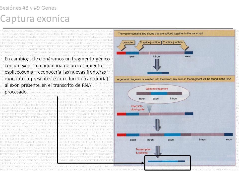 Sesiónes #8 y #9 Genes Captura exonica En cambio, si le clonáramos un fragmento génico con un exón, la maquinaria de procesamiento espliceosomal recon