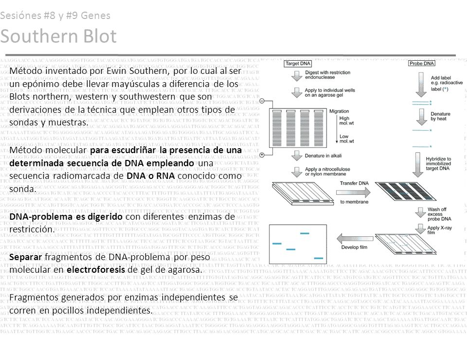Sesiónes #8 y #9 Genes Southern Blot Método inventado por Ewin Southern, por lo cual al ser un epónimo debe llevar mayúsculas a diferencia de los Blot