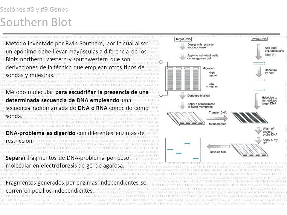 Sesiónes #8 y #9 Genes Southern Blot Fragmentos (aun en agarosa) son desnaturalizados con un álcali.