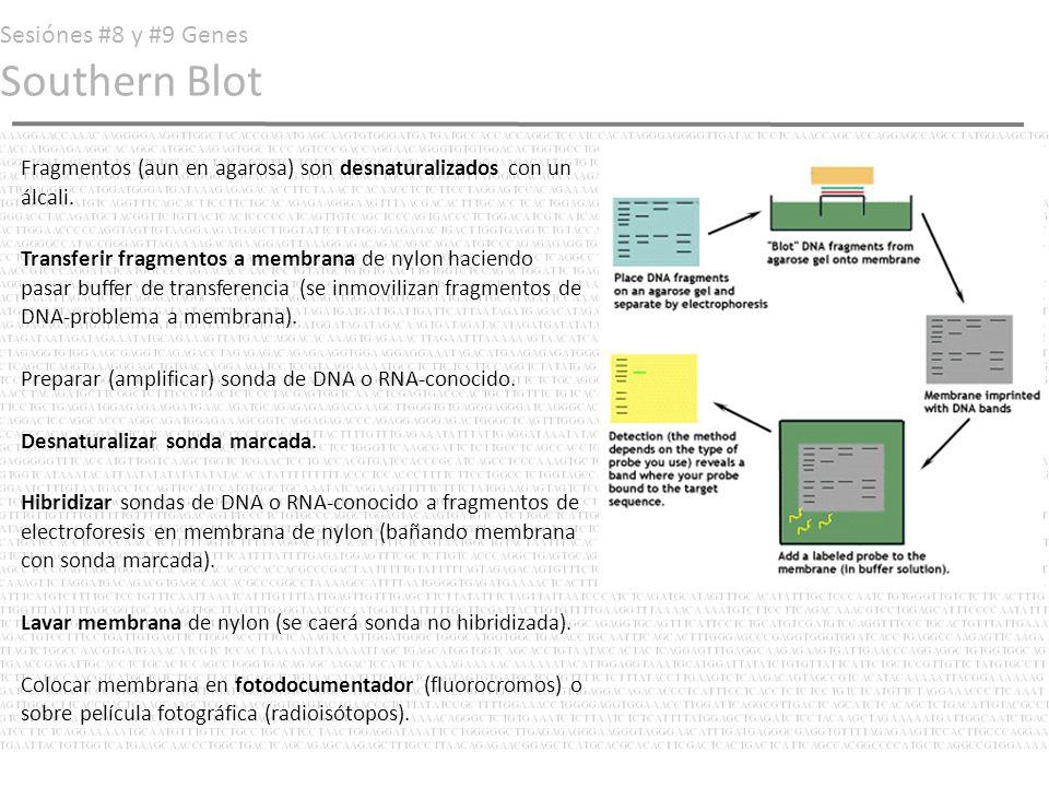 Sesiónes #8 y #9 Genes Southern Blot Fragmentos (aun en agarosa) son desnaturalizados con un álcali. Transferir fragmentos a membrana de nylon haciend