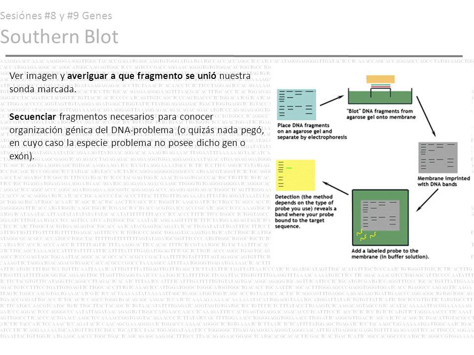 Sesiónes #8 y #9 Genes Southern Blot Ver imagen y averiguar a que fragmento se unió nuestra sonda marcada. Secuenciar fragmentos necesarios para conoc