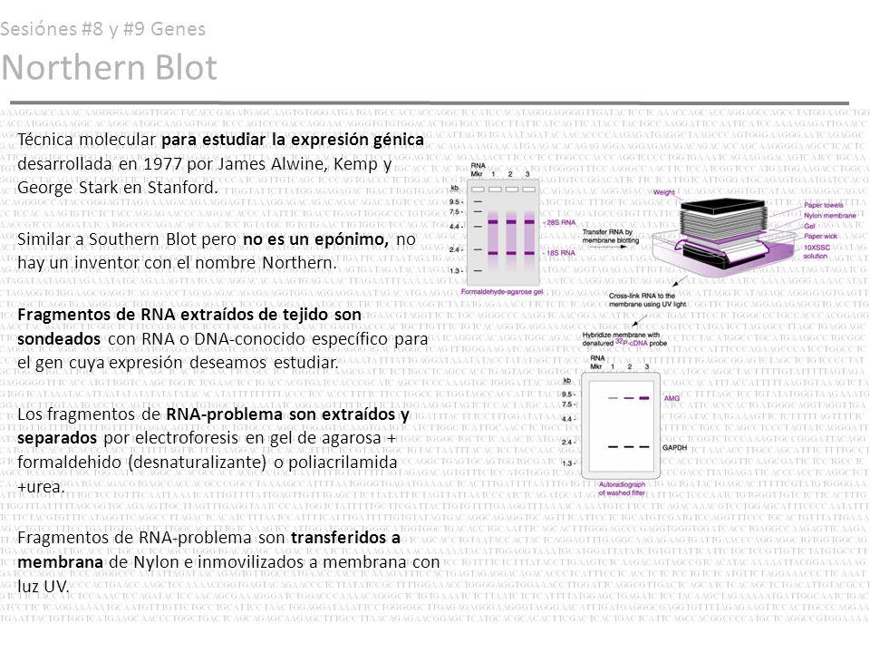 Sesiónes #8 y #9 Genes Northern Blot Preparamos una sonda de DNA marcada (fluorocromo o radioisótopos) Bañamos membrana de nylon con sonda de DNA en solución de sondeo marcada (hibridización).