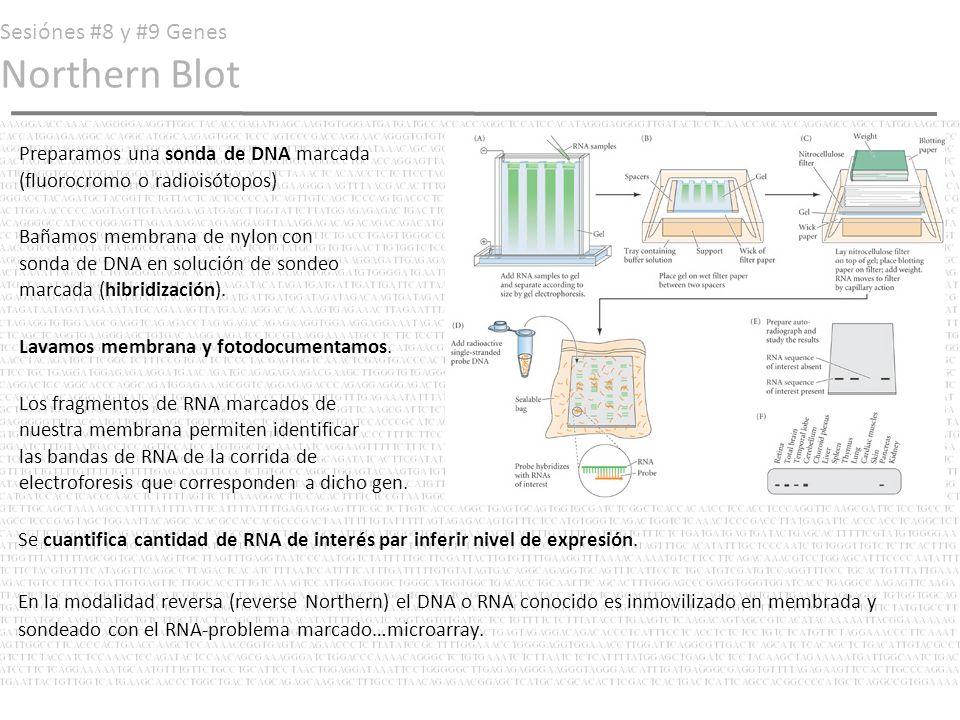 Sesiónes #8 y #9 Genes Northern Blot Preparamos una sonda de DNA marcada (fluorocromo o radioisótopos) Bañamos membrana de nylon con sonda de DNA en s