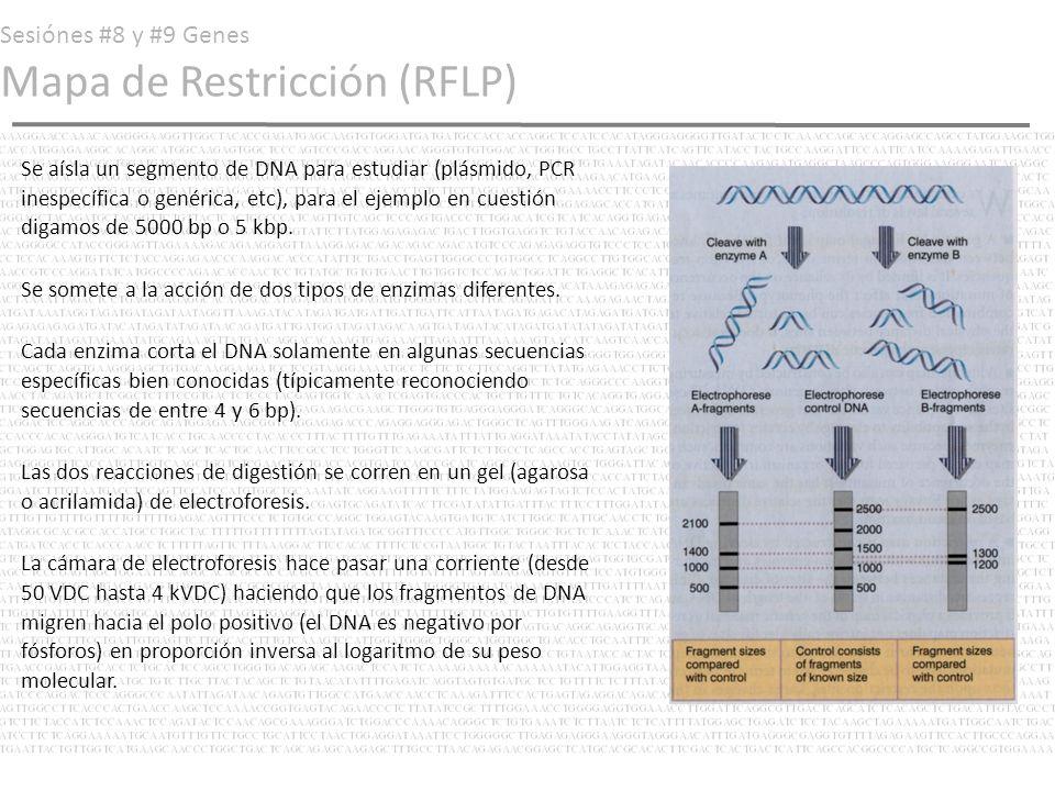 Sesiónes #8 y #9 Genes Mapa de Restricción (RFLP) Se aísla un segmento de DNA para estudiar (plásmido, PCR inespecífica o genérica, etc), para el ejem