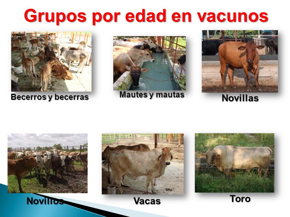 Grupos por edad en vacunos Becerros y becerras Mautes y mautas Novillas Vacas Toro Novillos