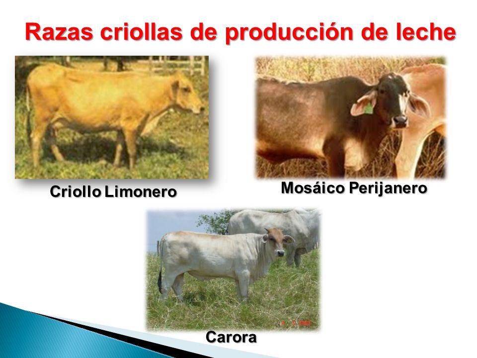 Razas criollas de producción de leche Criollo Limonero Carora Mosáico Perijanero