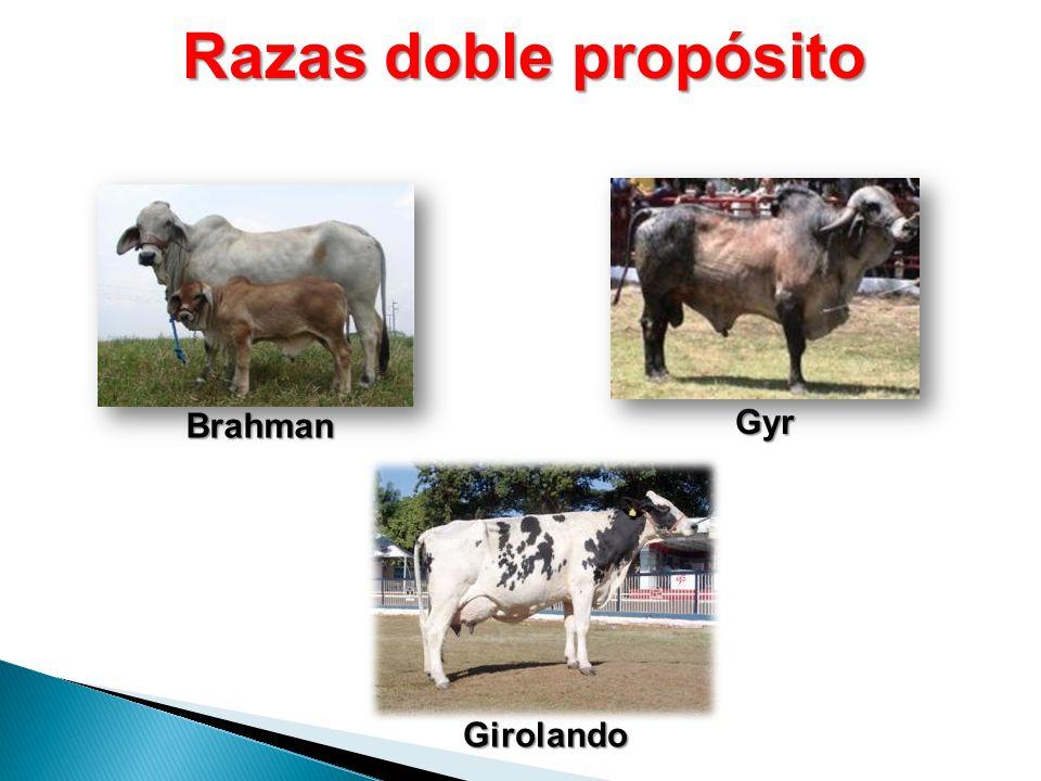 Razas doble propósito Brahman Girolando Gyr
