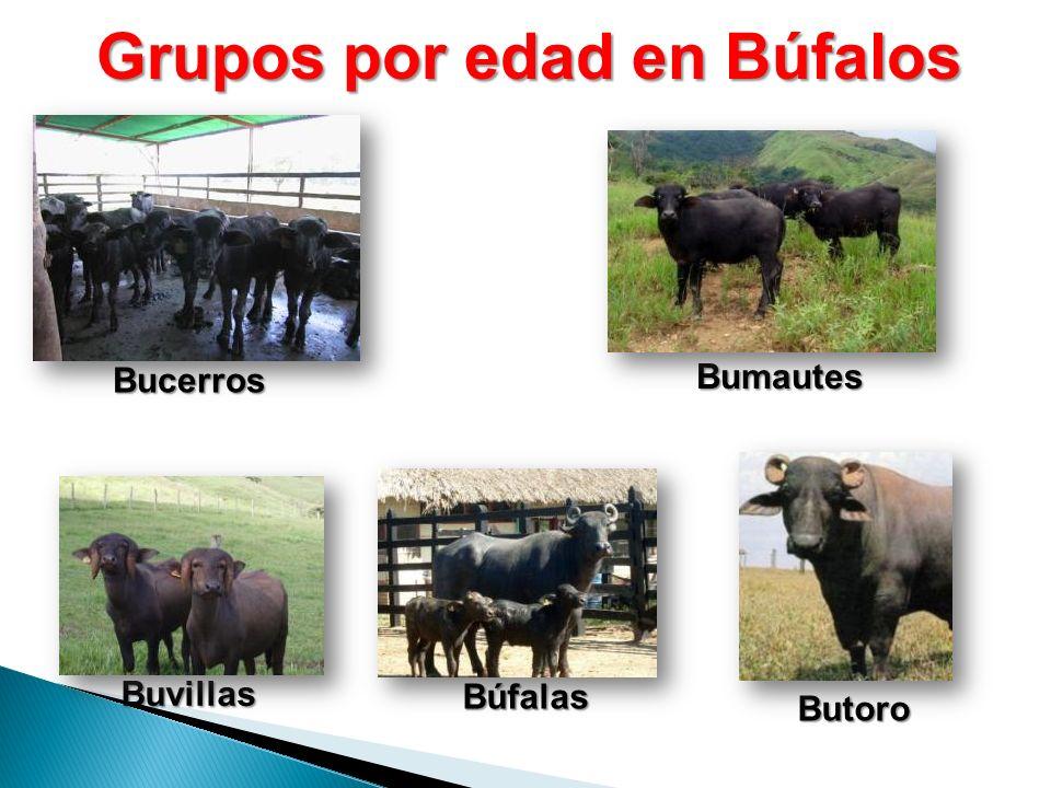 Grupos por edad en Búfalos Bucerros Búfalas Bumautes Buvillas Butoro