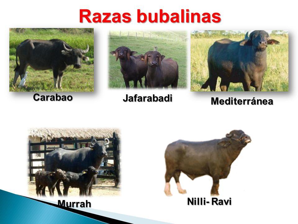 Razas bubalinas Carabao Mediterránea Jafarabadi Nilli- Ravi Murrah