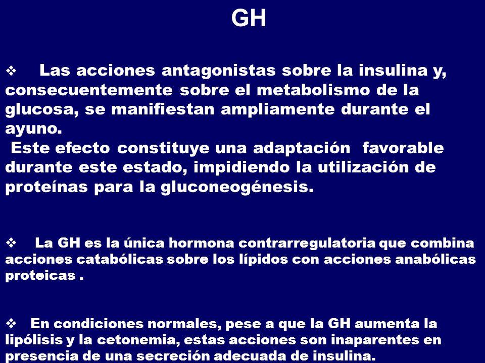 GH Las acciones antagonistas sobre la insulina y, consecuentemente sobre el metabolismo de la glucosa, se manifiestan ampliamente durante el ayuno. Es