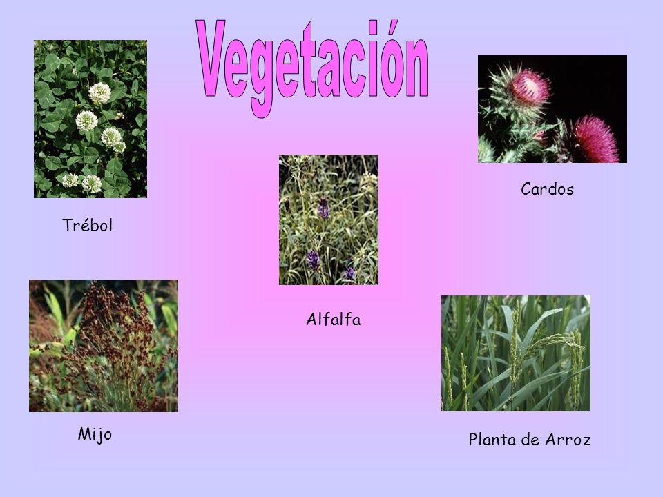 Cardos Trébol Alfalfa Mijo Planta de Arroz