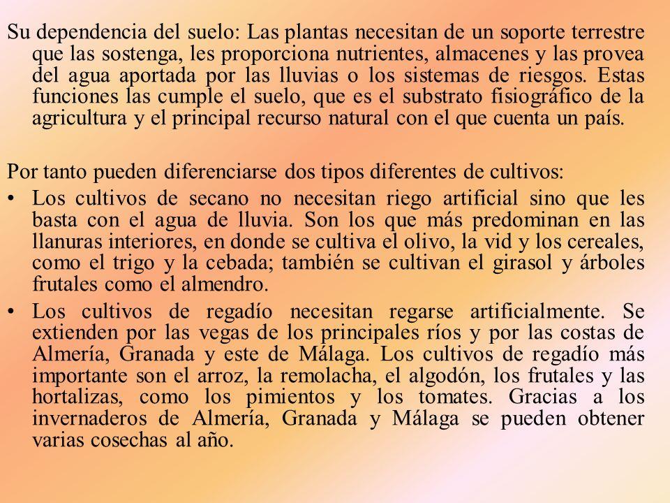 De entre los grupos de cultivos de la gráfica anterior destaca el Olivar con un 36,80% del total de las tierras cultivadas, dedicándose más del 90% de este a la aceituna para aceite, siendo por orden de importancia las provincias de Jaén y Córdoba las de mayor superficie, siguiendo las provincias de Sevilla, Granada y Málaga.
