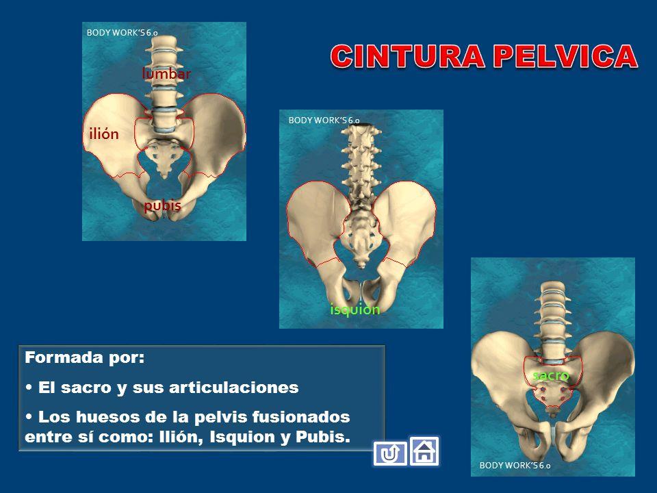 Formada por: El sacro y sus articulaciones Los huesos de la pelvis fusionados entre sí como: Ilión, Isquion y Pubis. ilión sacro pubis lumbar isquión