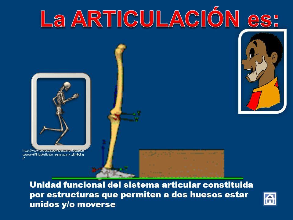 Unidad funcional del sistema articular constituida por estructuras que permiten a dos huesos estar unidos y/o moverse http://www.ars.usda.gov/is/espan