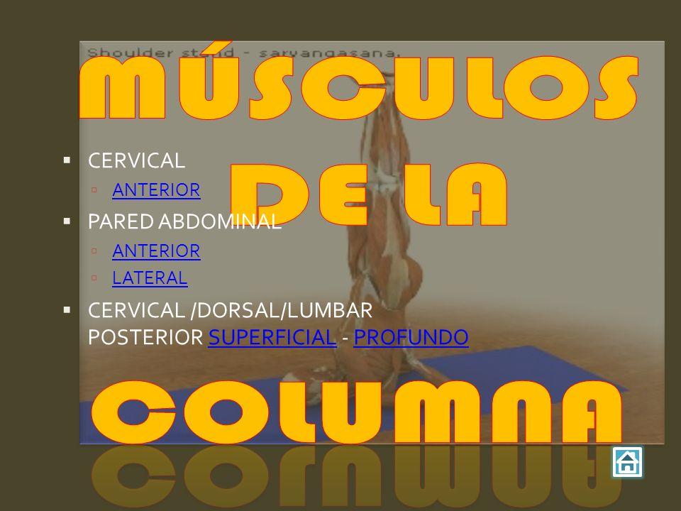 CERVICAL ANTERIOR PARED ABDOMINAL ANTERIOR LATERAL CERVICAL /DORSAL/LUMBAR POSTERIOR SUPERFICIAL - PROFUNDOSUPERFICIALPROFUNDO