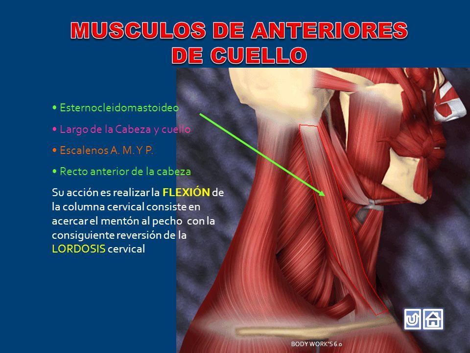 Esternocleidomastoideo Largo de la Cabeza y cuello Escalenos A. M. Y P. Recto anterior de la cabeza Su acción es realizar la FLEXIÓN de la columna cer
