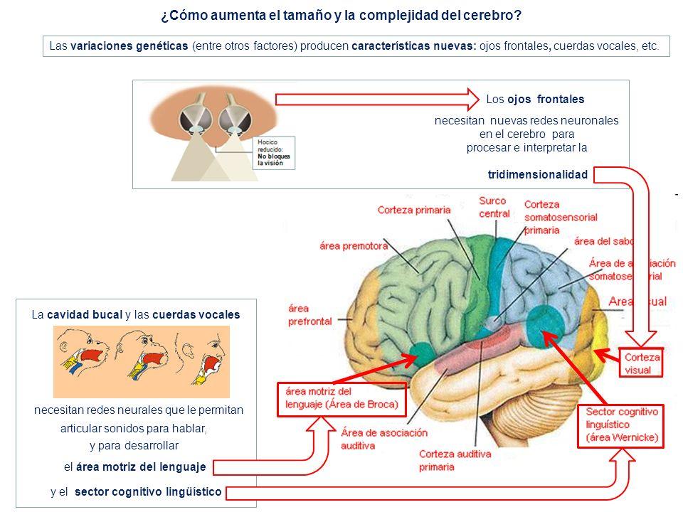 Las variaciones genéticas (entre otros factores) producen características nuevas: ojos frontales, cuerdas vocales, etc. ¿Cómo aumenta el tamaño y la c