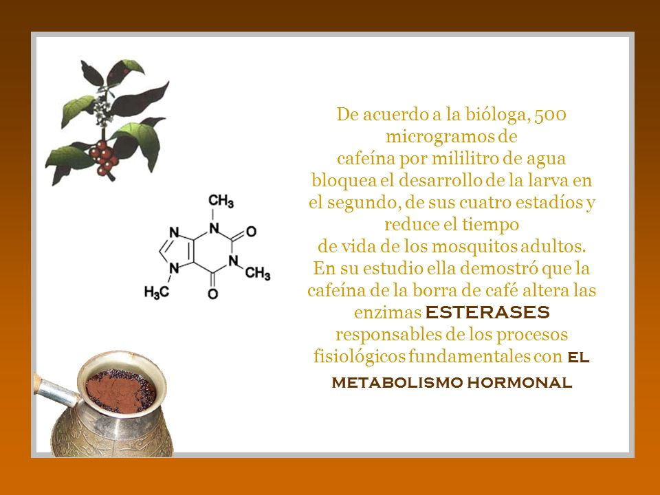 De acuerdo a la bióloga, 500 microgramos de cafeína por mililitro de agua bloquea el desarrollo de la larva en el segundo, de sus cuatro estadíos y re