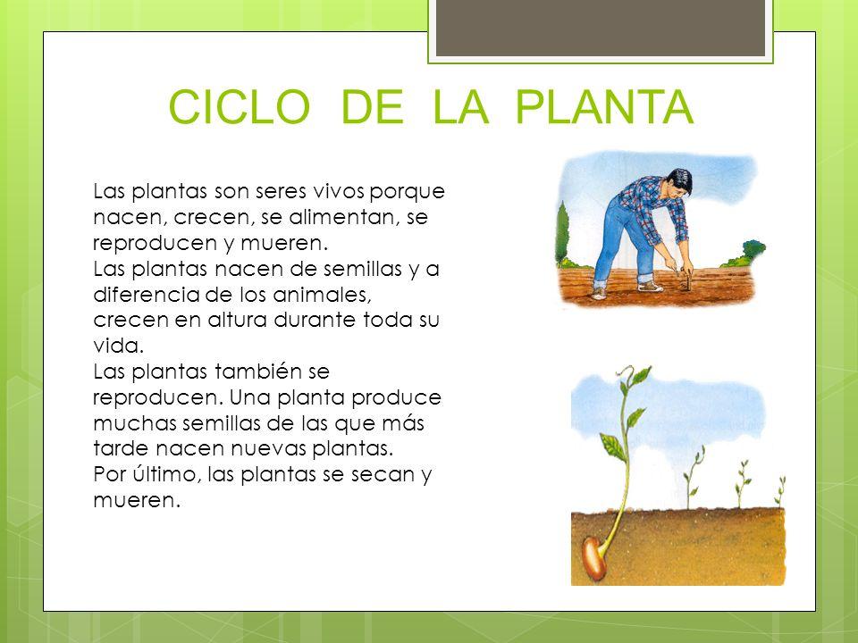 PARTES DE LA PLANTA Las hojas son los órgano verdes de forma laminar, que salen del tallo.