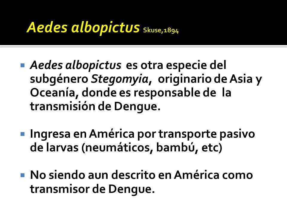 Aedes albopictus es otra especie del subgénero Stegomyia, originario de Asia y Oceanía, donde es responsable de la transmisión de Dengue. Ingresa en A