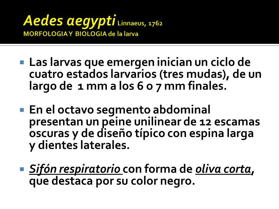 Aedes albopictus es otra especie del subgénero Stegomyia, originario de Asia y Oceanía, donde es responsable de la transmisión de Dengue.