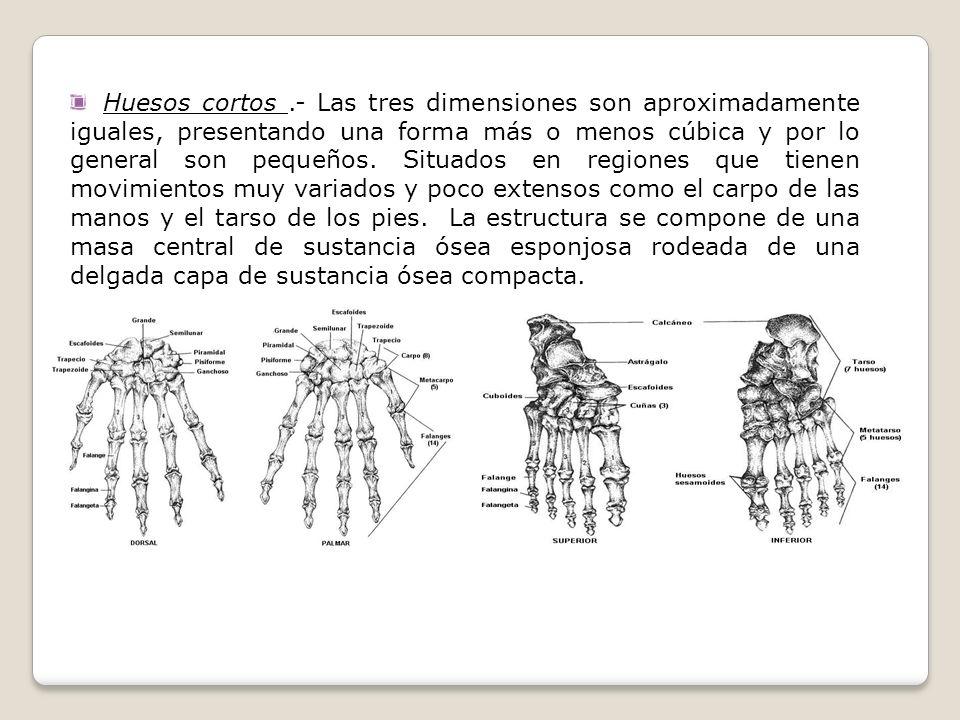 Huesos cortos.- Las tres dimensiones son aproximadamente iguales, presentando una forma más o menos cúbica y por lo general son pequeños. Situados en