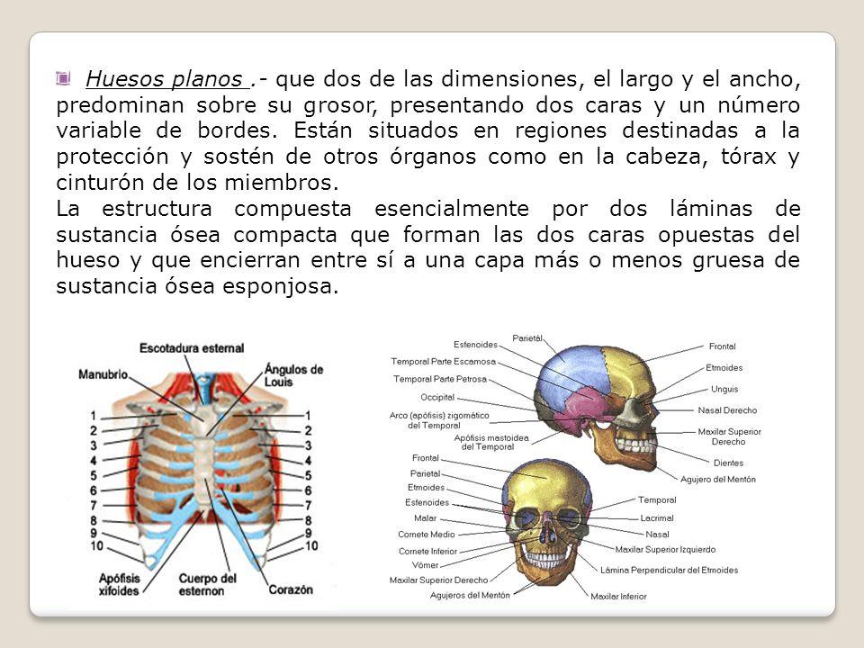 Huesos planos.- que dos de las dimensiones, el largo y el ancho, predominan sobre su grosor, presentando dos caras y un número variable de bordes. Est