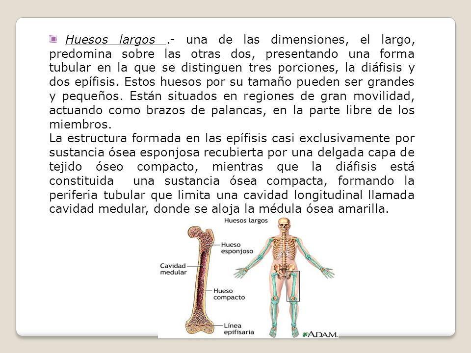 Huesos largos.- una de las dimensiones, el largo, predomina sobre las otras dos, presentando una forma tubular en la que se distinguen tres porciones,