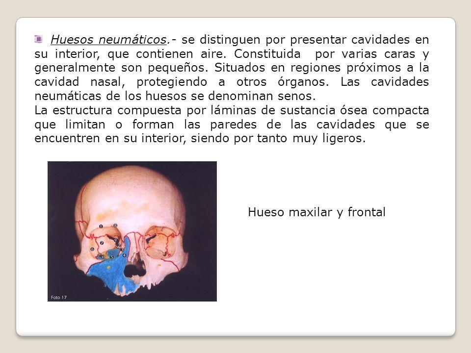 Huesos neumáticos.- se distinguen por presentar cavidades en su interior, que contienen aire. Constituida por varias caras y generalmente son pequeños