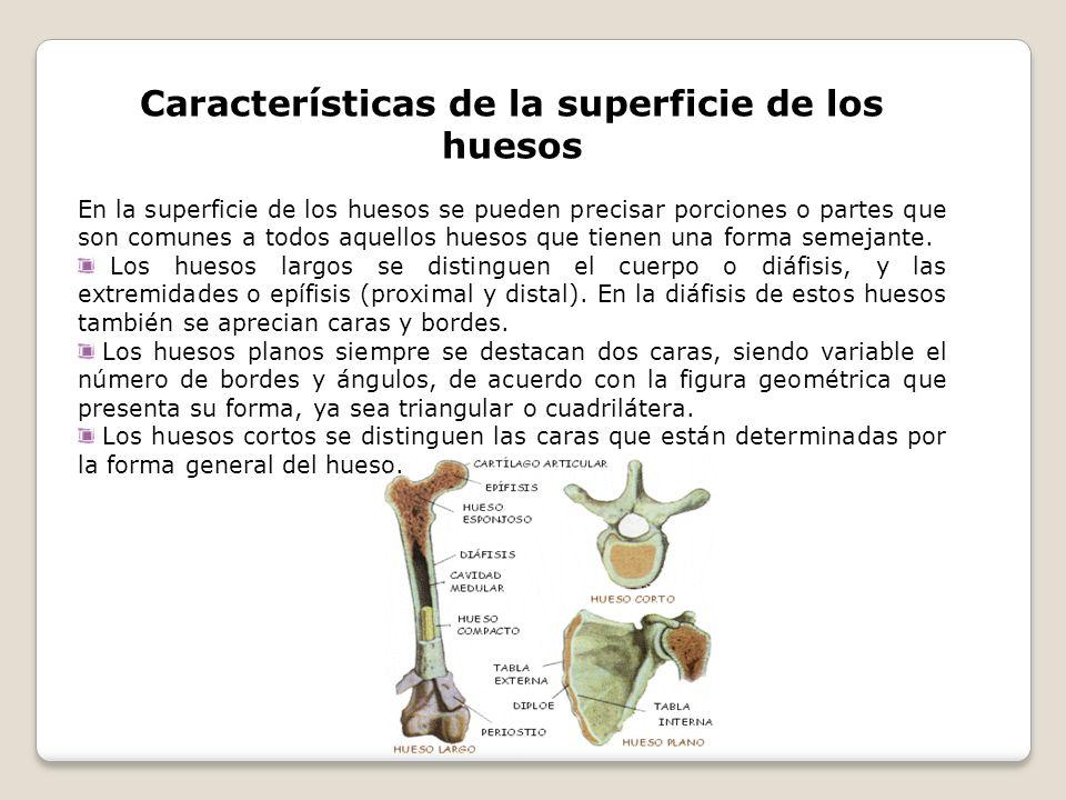 Características de la superficie de los huesos En la superficie de los huesos se pueden precisar porciones o partes que son comunes a todos aquellos h