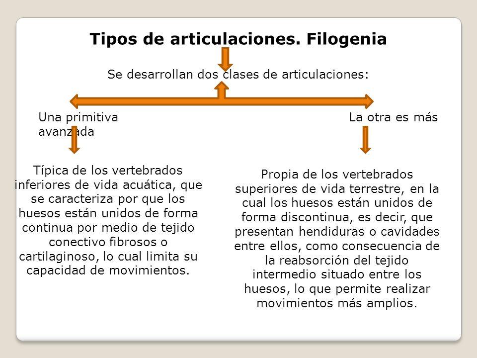 Tipos de articulaciones. Filogenia Se desarrollan dos clases de articulaciones: Una primitiva La otra es más avanzada Típica de los vertebrados inferi