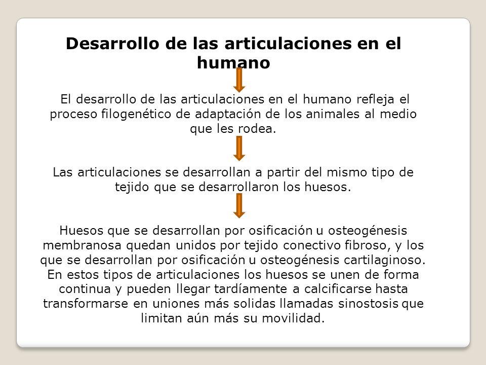 Desarrollo de las articulaciones en el humano El desarrollo de las articulaciones en el humano refleja el proceso filogenético de adaptación de los an