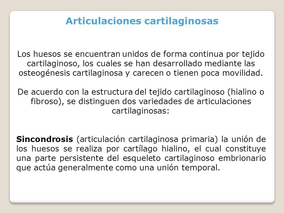 Articulaciones cartilaginosas Los huesos se encuentran unidos de forma continua por tejido cartilaginoso, los cuales se han desarrollado mediante las