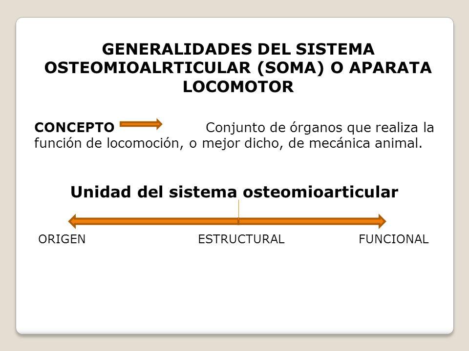 GENERALIDADES DEL SISTEMA OSTEOMIOALRTICULAR (SOMA) O APARATA LOCOMOTOR CONCEPTO Conjunto de órganos que realiza la función de locomoción, o mejor dic