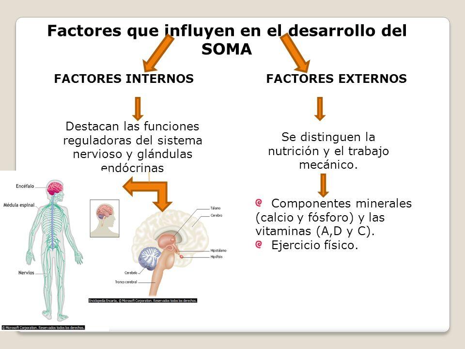 Factores que influyen en el desarrollo del SOMA FACTORES INTERNOS FACTORES EXTERNOS Destacan las funciones reguladoras del sistema nervioso y glándula
