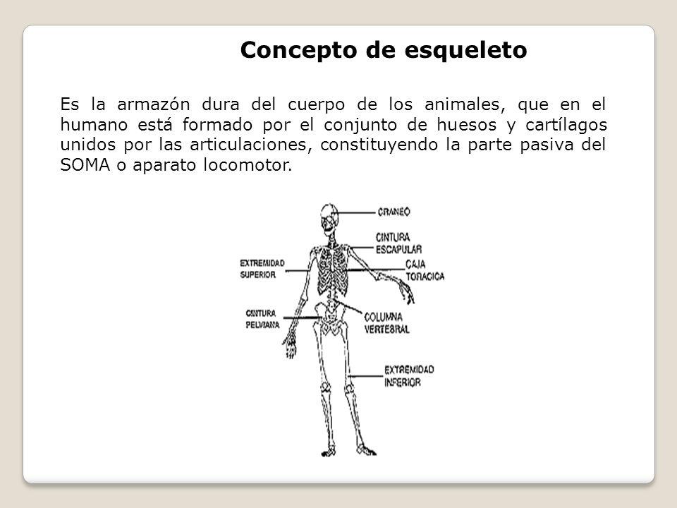 Concepto de esqueleto Es la armazón dura del cuerpo de los animales, que en el humano está formado por el conjunto de huesos y cartílagos unidos por l