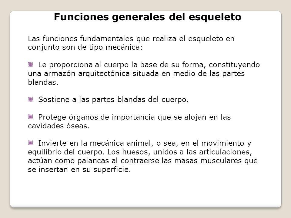 Funciones generales del esqueleto Las funciones fundamentales que realiza el esqueleto en conjunto son de tipo mecánica: Le proporciona al cuerpo la b