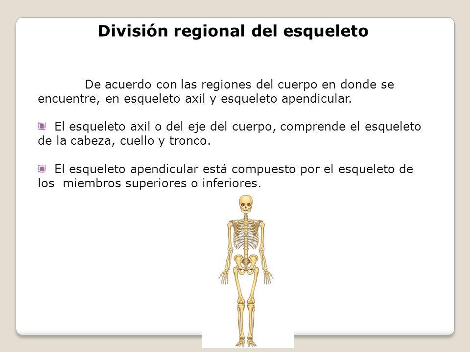 División regional del esqueleto De acuerdo con las regiones del cuerpo en donde se encuentre, en esqueleto axil y esqueleto apendicular. El esqueleto
