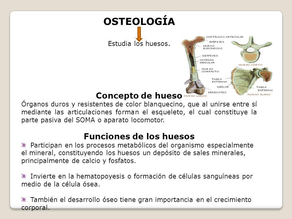 OSTEOLOGÍA Estudia los huesos. Concepto de hueso Órganos duros y resistentes de color blanquecino, que al unirse entre sí mediante las articulaciones