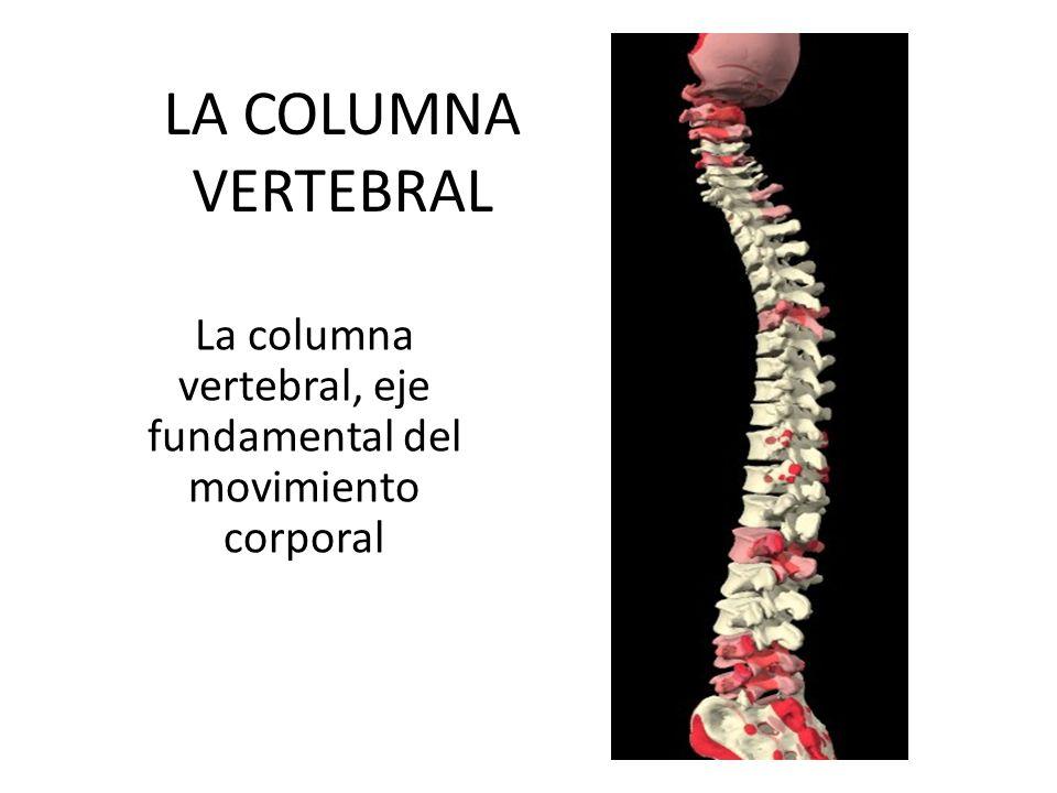 GENERALIDADES La columna vertebral es una pila de 33 huesos llamados vértebras que se mantiene juntos gracias a ligamentos y músculos con discos de fibrocartílago conector (principalmente agua y proteína) entre las vértebras.