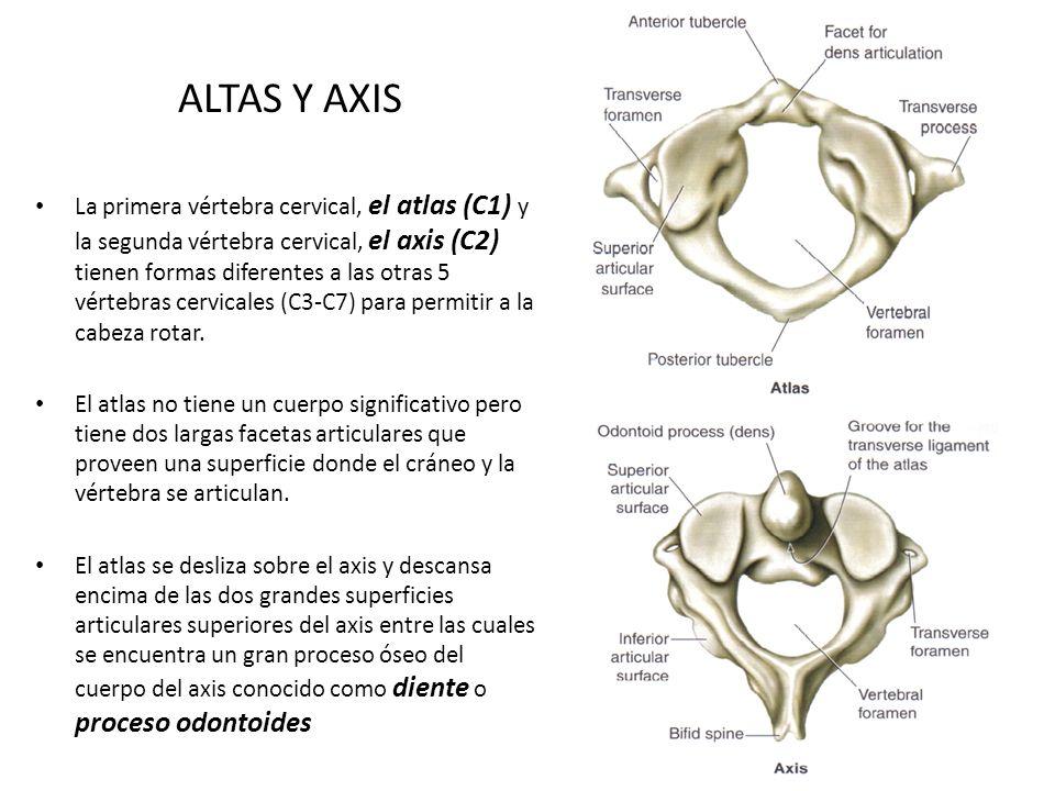 ALTAS Y AXIS La primera vértebra cervical, el atlas (C1) y la segunda vértebra cervical, el axis (C2) tienen formas diferentes a las otras 5 vértebras