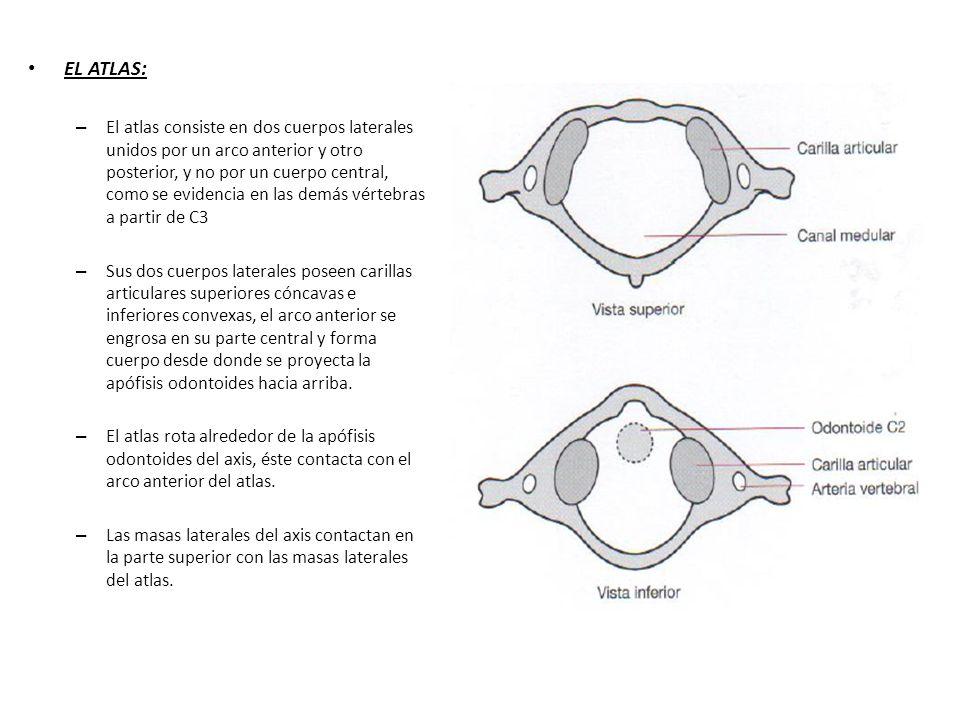 EL ATLAS: – El atlas consiste en dos cuerpos laterales unidos por un arco anterior y otro posterior, y no por un cuerpo central, como se evidencia en