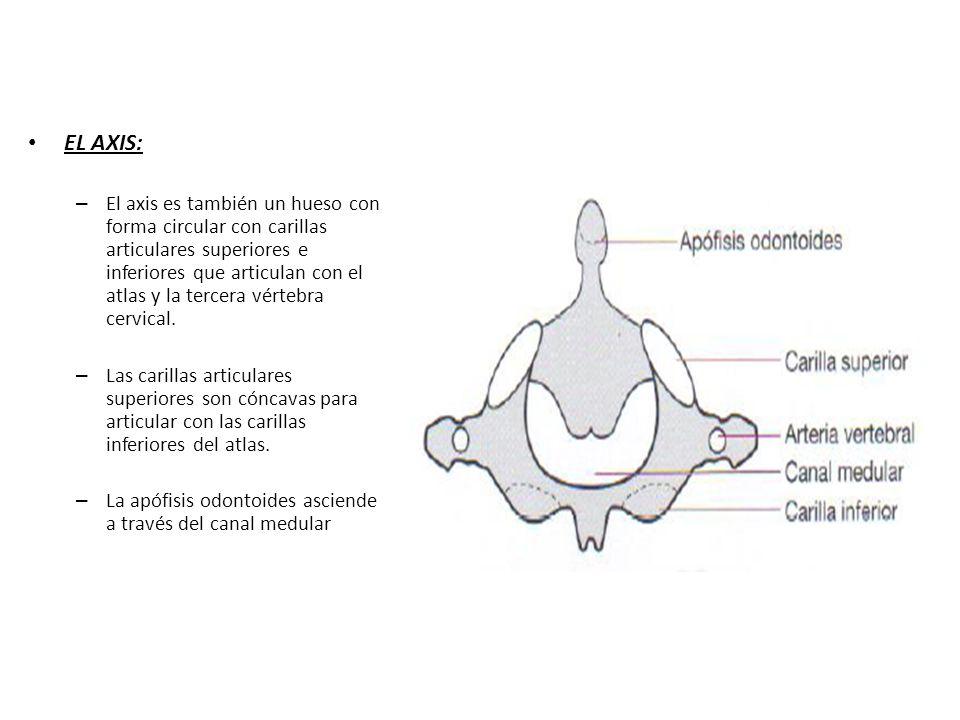 EL AXIS: – El axis es también un hueso con forma circular con carillas articulares superiores e inferiores que articulan con el atlas y la tercera vér