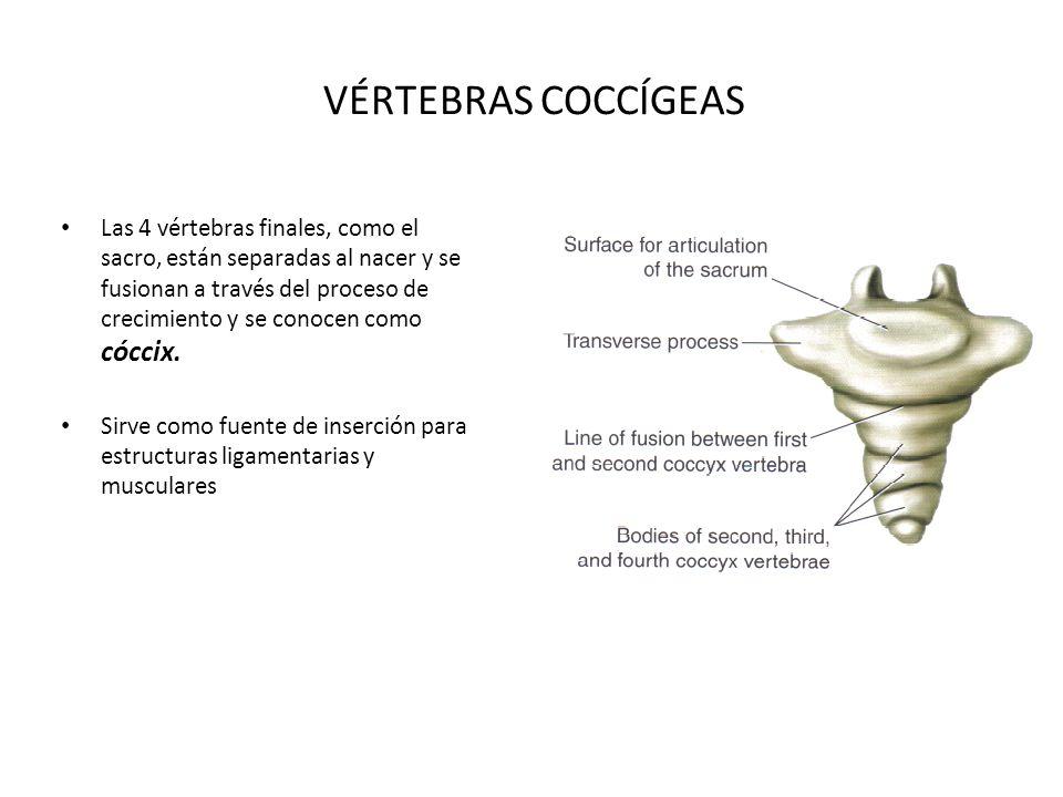 VÉRTEBRAS COCCÍGEAS Las 4 vértebras finales, como el sacro, están separadas al nacer y se fusionan a través del proceso de crecimiento y se conocen co