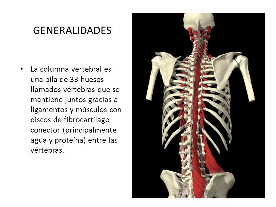 GENERALIDADES La columna vertebral es una pila de 33 huesos llamados vértebras que se mantiene juntos gracias a ligamentos y músculos con discos de fi
