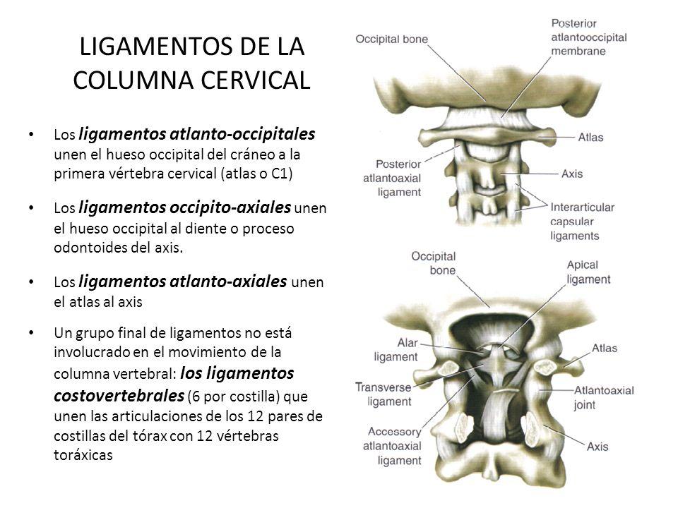 LIGAMENTOS DE LA COLUMNA CERVICAL Los ligamentos atlanto-occipitales unen el hueso occipital del cráneo a la primera vértebra cervical (atlas o C1) Lo